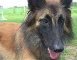 belgian sheepdog training guide belgian tervuren belgian tervurens breed