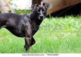 Dog In The Backyard by Belgian Shepherd Stock Photo 102568433 Shutterstock
