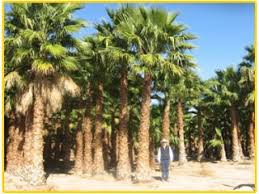 mexican fan palm growth rate gregory palm farms washingtonia robusta mexican fan palms