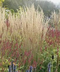 sesleria greenlee s hybrid grasses perennials and gardens