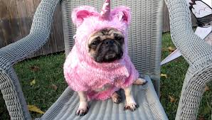 pug halloween costume for baby unicorn pug u0027s tea party youtube