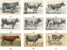 other british breeds 142 a hereford cow 1855 and hereford