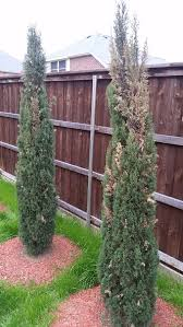 cypress yellowing drying help