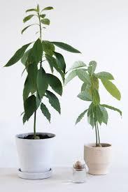 House Plant Best 20 Avocado Plant Ideas On Pinterest Plant Avocado Seed