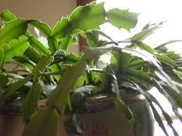 how to care for a christmas cactus houseplant