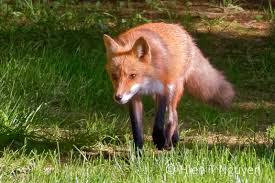 backyard red foxes 2017 neihtn