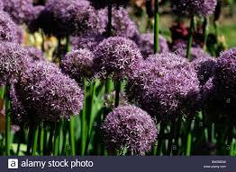 allium ornamental flower shaped florets globe