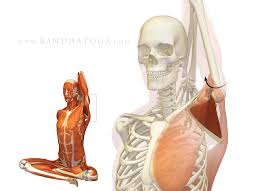 Anatomy Of The Shoulder Girdle Shoulder Biomechanics In Yoga Part 1 The Subscapularis Muscle