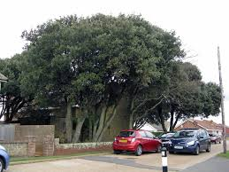 friends of peacehaven botanic park inc new members new plants newhaven wildlife everpresent on evergreen a rare moth in newhaven