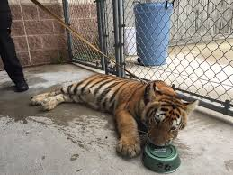 tiger in texas pet found wandering streets prompts appeal for