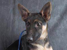 american eskimo dog rescue colorado petango com u2013 meet mozart a 12 years 3 months american eskimo
