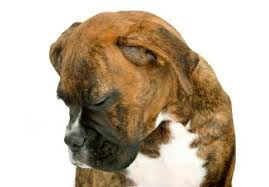 boxer dog keeps coughing dog vomiting what to you do if your dog throws up