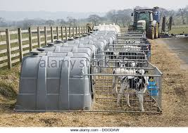 Calf Hutches For Sale Calf Hutches Stock Photos U0026 Calf Hutches Stock Images Alamy