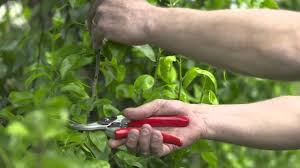 wonderful summer pruning fruit trees part 4 summer pruning is