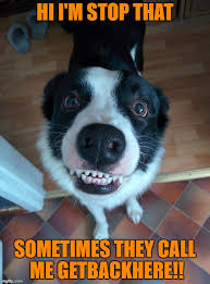 Border Collie Meme - image tagged in funny dog imgflip