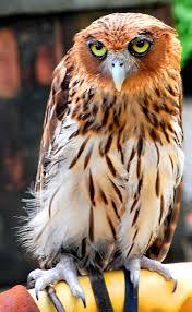 philippine eagle owl wikipedia