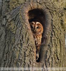 owls sightings photography in northumberland plus a bird rarity