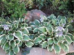 Flower Shrubs For Shaded Areas - best low maintenance shrubs or flowers for your yard infobarrel