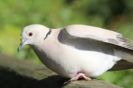 dove symbolism and dove meanings dove symbol dove symbolism and