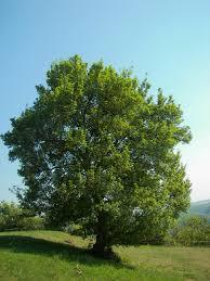 albero giardino alberi a foglia caduca da piantare in giardino metodo biodinamico