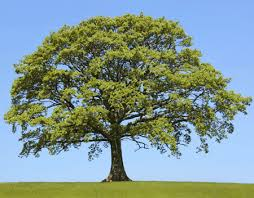 sawtooth oak trees for sale fast growing trees