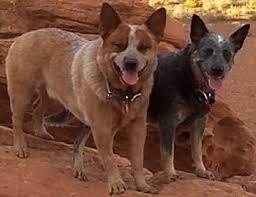 australian shepherd queensland heeler mix puppies training australian cattle dogs the sensible way