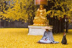 1 400 year ginkgo tree drops leaves that drown