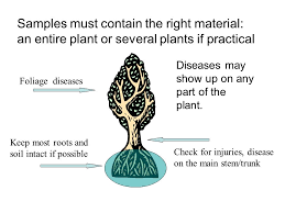 Plant Disease Diagnosis - sample submission review accurate diagnosis depends on a good