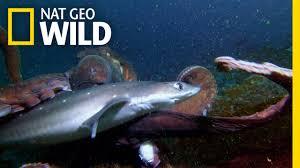 octopus vs shark shark vs predator youtube