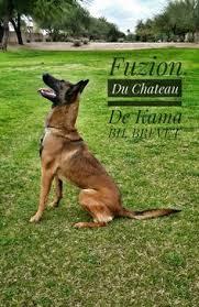 belgian shepherd x mastiff vinnie lab x mastiff and fuzion malinois mw dogs