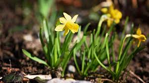 Ideas For Daffodil Varieties Design Yellow Flowers Pictures For Garden Inspiration