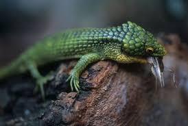 Seeking Lizard Episode Arboreal Alligator Lizard For Sale Abronia Graminea Reptiles
