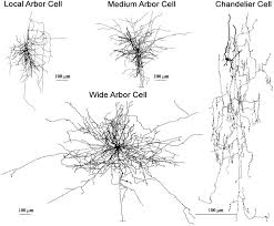 chandelier cells articles journal of neurophysiology