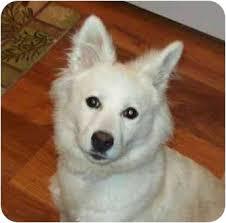 american eskimo dog price in india dakota please help adopted dog southport nc american