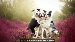 3 cute dogs hd wallpaper