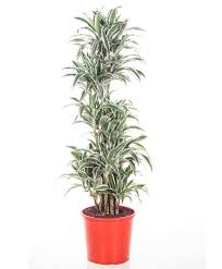 buy house plants now dracaena u0027white jewel u0027 bakker com