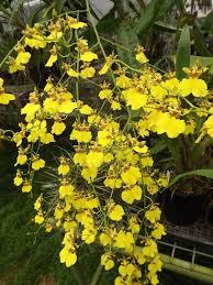oncidium orchid 25 best oncidium orchid ideas on orchid flowers