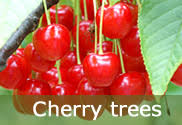 Online Fruit Trees For Sale - fruit trees for sale buy online from the fruit tree specialists