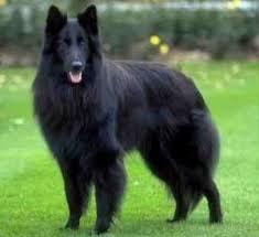 belgian sheepdog gif dog species shepherds