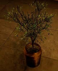olive tree pot black desert furniture