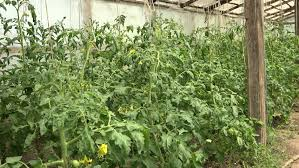 indoor grow warehouse marijuana plants in bloom harvest time stock