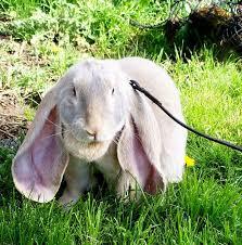 54 english lop images rabbits english lop
