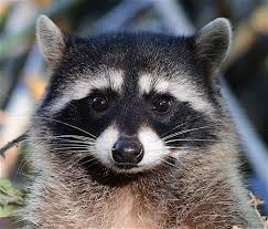 all about the northern raccoon welcome wildlife