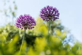 how to grow alliums ornamental onions