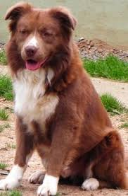 australian shepherd jacksonville adopt jax on jacksonville fl australian shepherd dogs and dogs