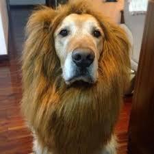 Large Dog Halloween Costume Ideas 25 Dog Lion Mane Ideas Dog Lion Costume