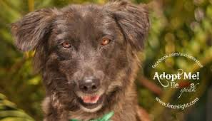 australian shepherd rescue san diego and friends aussie rescue san diego adoptable dogs march fetchlight