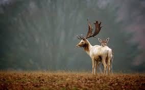 deer family hd wallpapers