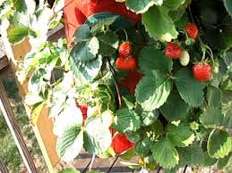 growing strawberries upside down