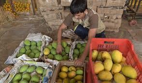 vashi market first devgad alphonso mangoes arrive in apmc market in navi mumbai